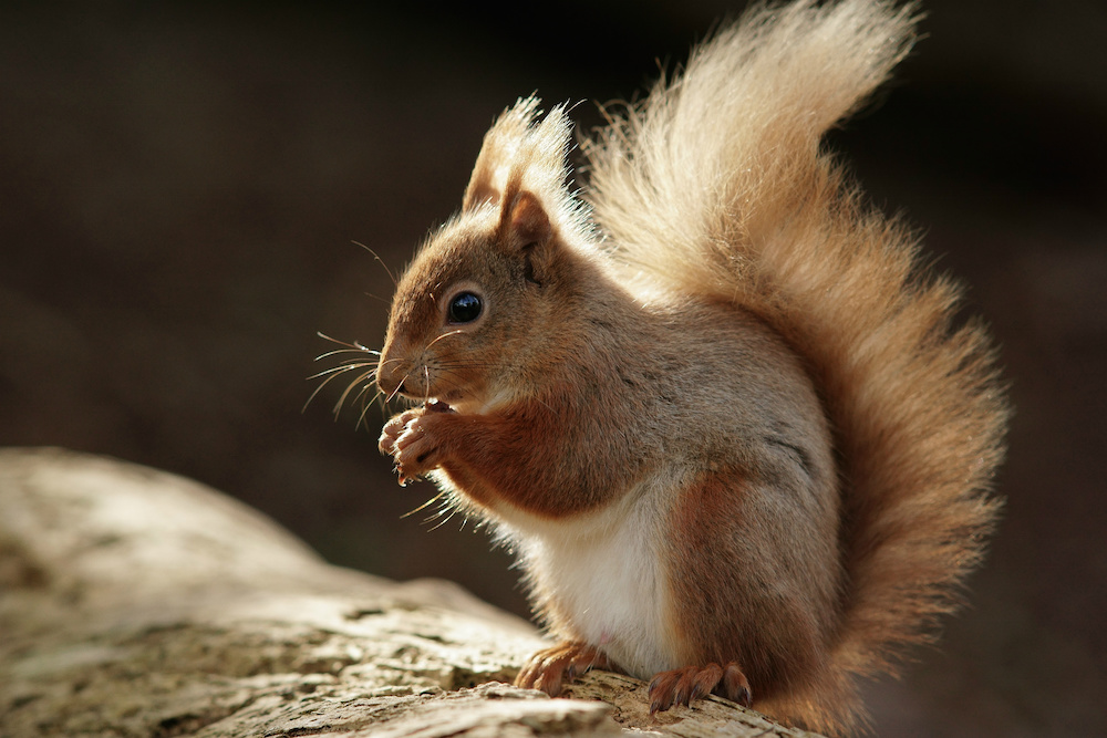Red Squirrel on Brownsea Island